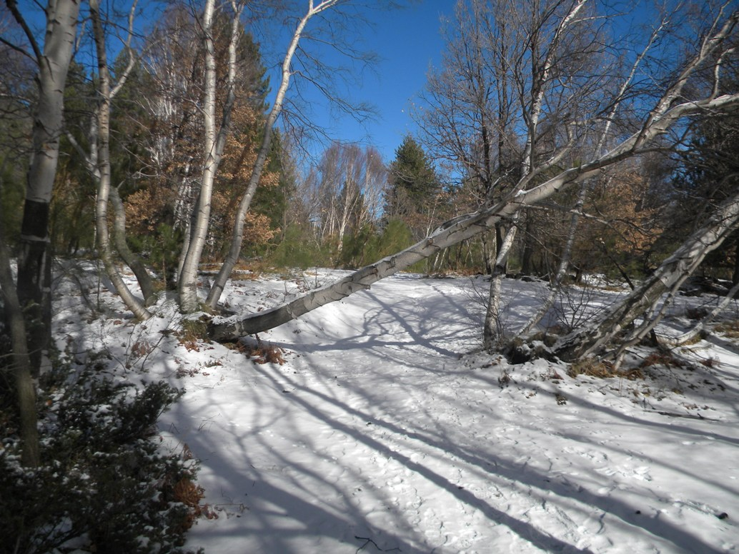 Ätna Birken im Winter