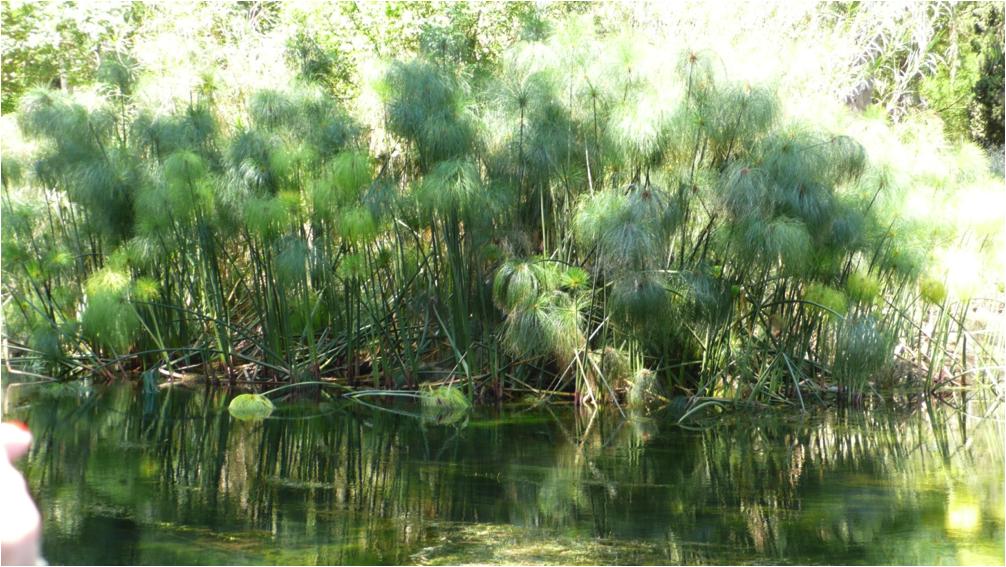 Papyrus am Fluss Clane
